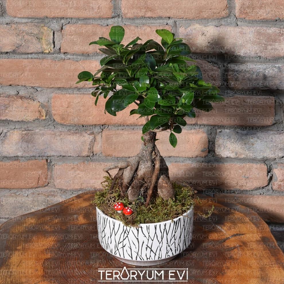 İthal Bonsai Ficus