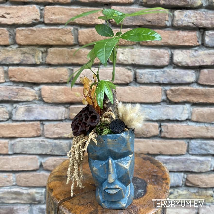 Pachira ( Para Ağacı )