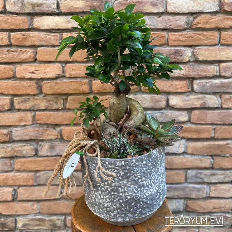 Bonsai Ficus XL