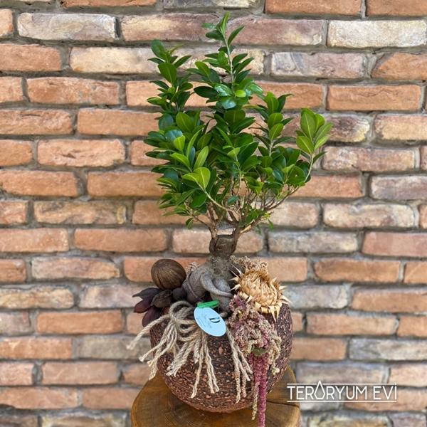 XL Ficus Bonsai