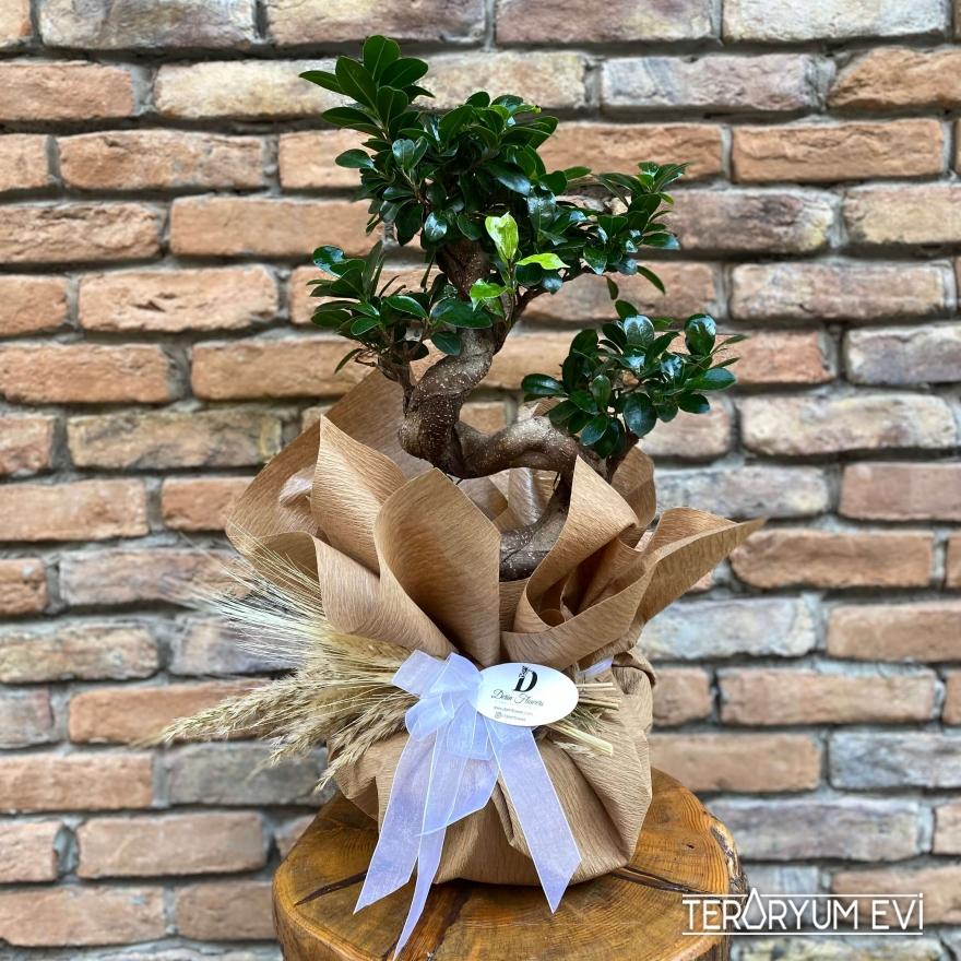 XL Bonsai Ficus