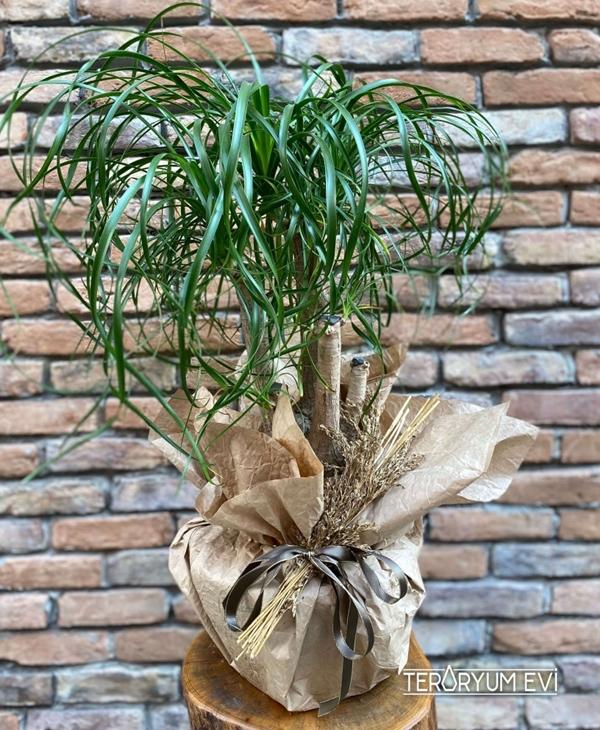 Nolina Ağacı