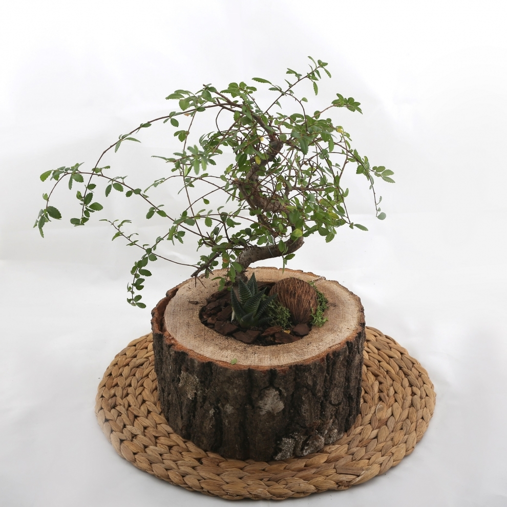 Teraryum Bonsai