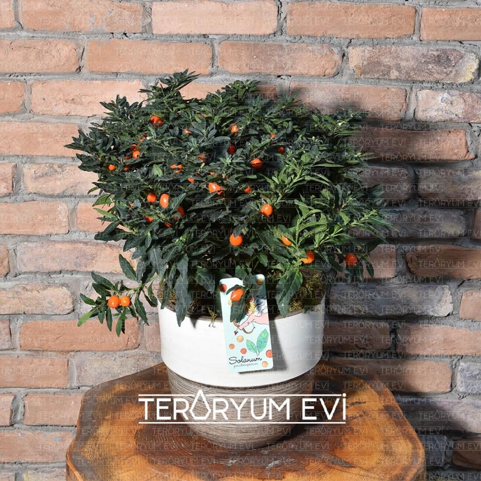 XL Solanum Çiçeği