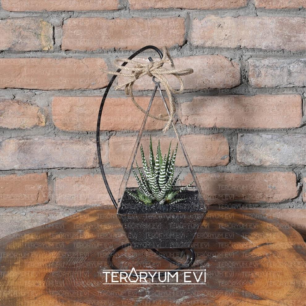 Haworthia Teraryum