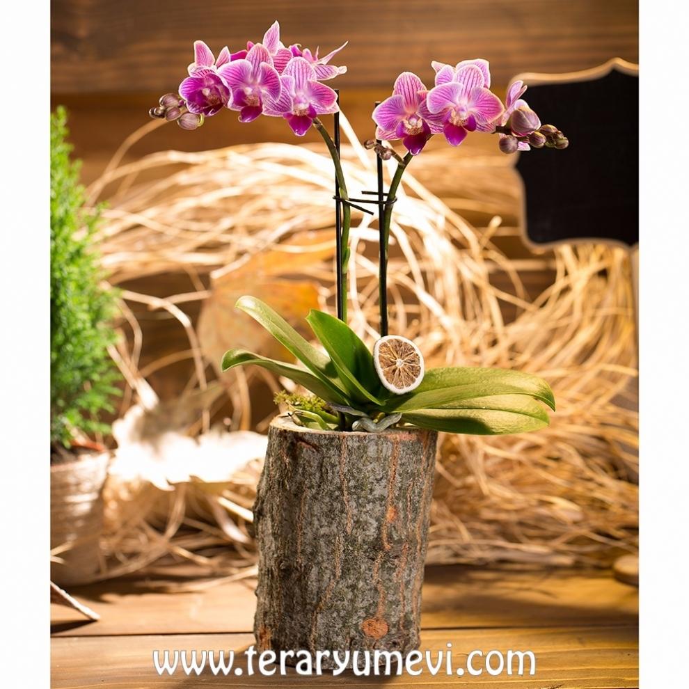 Kütükte Mini Orkide