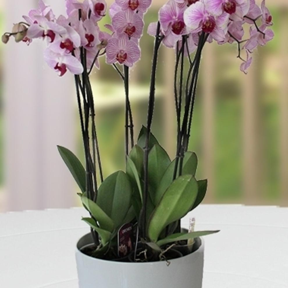 Mor Büyüsü Orkide